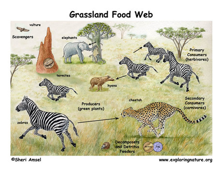 Grasslands Animals Food Web This is a Food Web of Animals